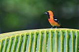 Hooded Orioleborder=